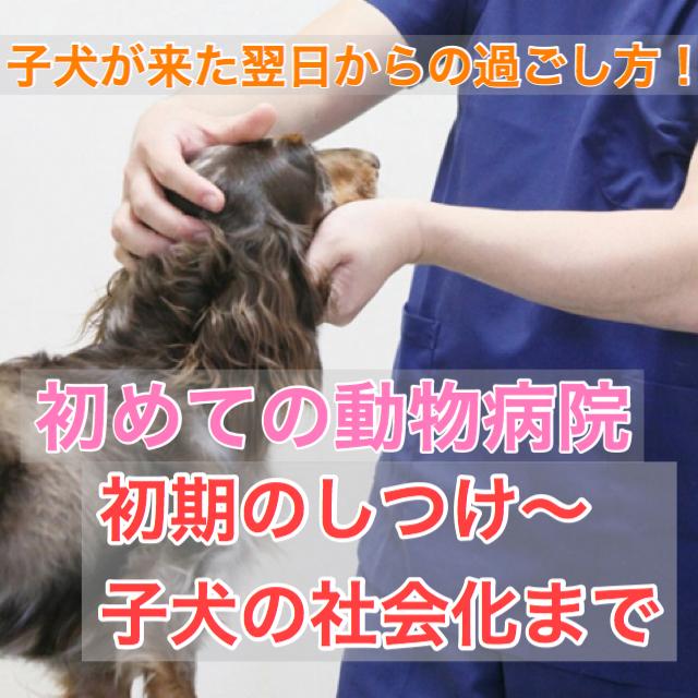 子犬が来た翌日以降にする事まとめ!初めて動物病院・初期のしつけ・社会化期とは?