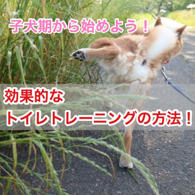 【簡単!】子犬期から始める!効果的なトイレトレーニングの方法!しつけに必要なアイテムは?!
