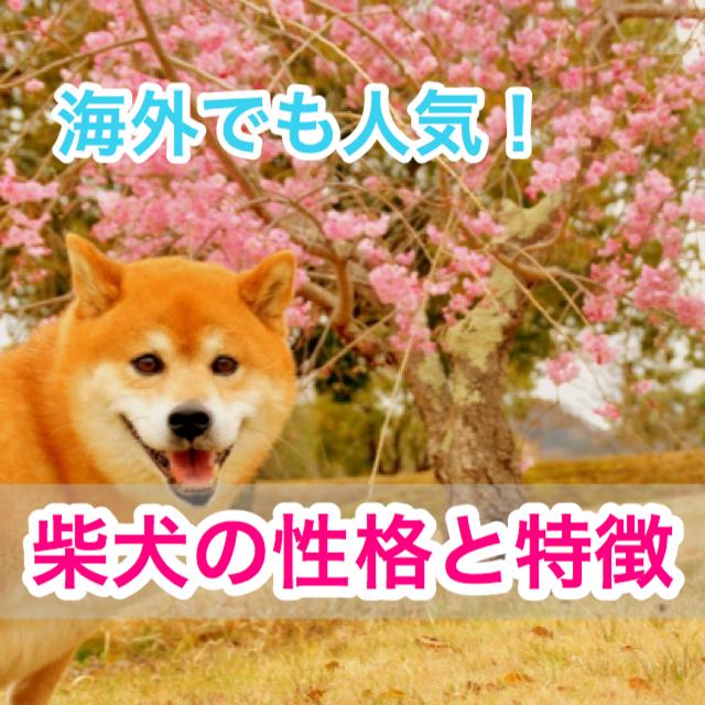 【癒し度NO.1】柴犬の性格と特徴!毛色の種類は?豆柴って?やっぱり日本犬!