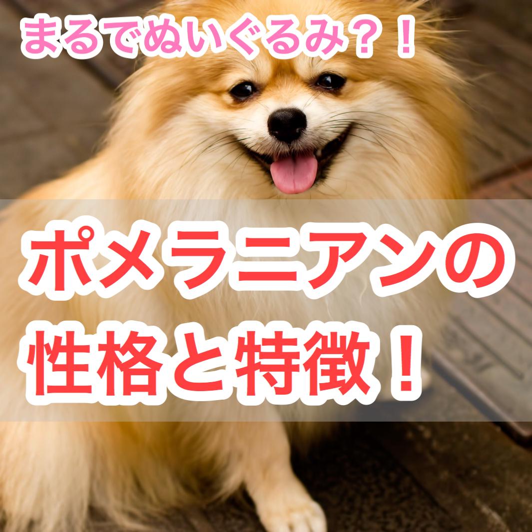 【まるでぬいぐるみ!?】ポメラニアンの性格と特徴!柴犬カットとは?毛色の種類も豊富!