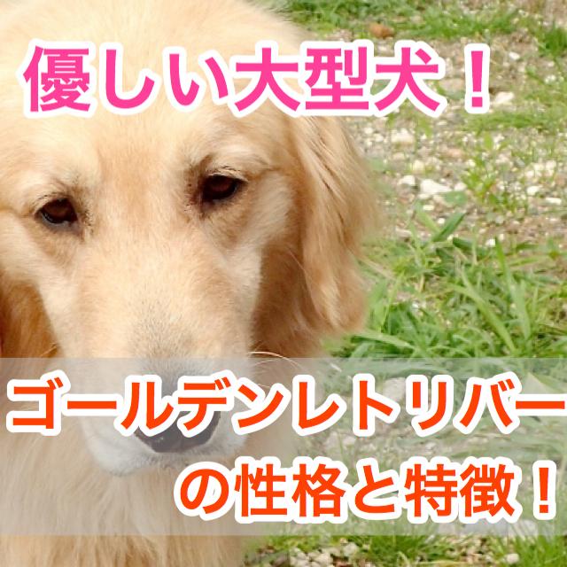 【優しい大型犬!】ゴールデンレトリバーの性格と特徴!散歩の時間やトリミングは?!
