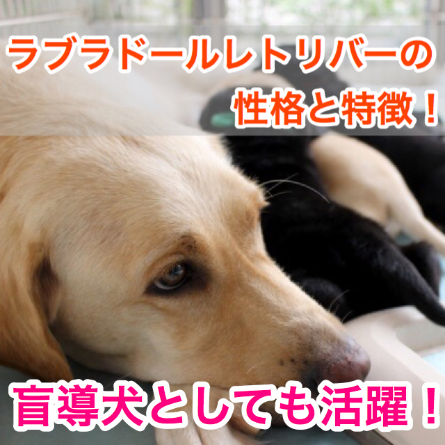 【盲導犬でおなじみ!】ラブラドールレトリバーの性格と特徴!抜け毛が多いって本当?!