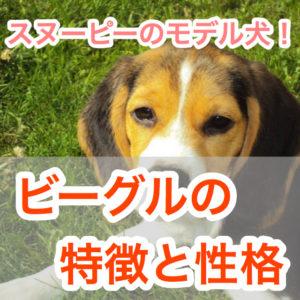 スヌーピーのモデル犬!】ビーグルの特徴と性格!ヒアリ探知犬