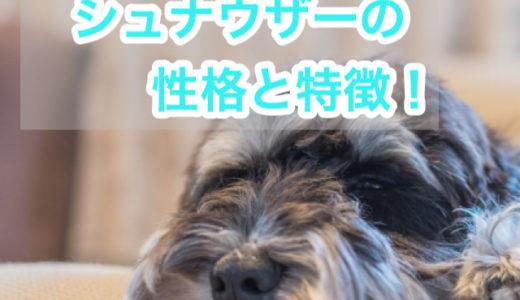 【おじいちゃんみたい?!】口ひげが可愛いミニチュアシュナウザーの性格と特徴。毛色の種類は?