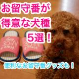 【一人暮らし・共働きでも犬を飼いたい】お留守番が得意な犬種5選!おすすめの留守番グッズも。