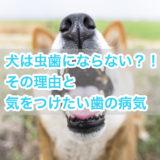 犬は虫歯にならない?!その理由と虫歯より気をつけたい歯の病気