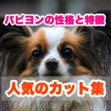 パピヨン犬の性格と特徴。サマーカットも楽しめるおすすめカット集も!